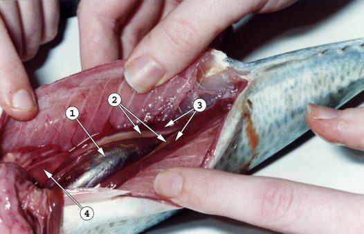 Fish belly split open.