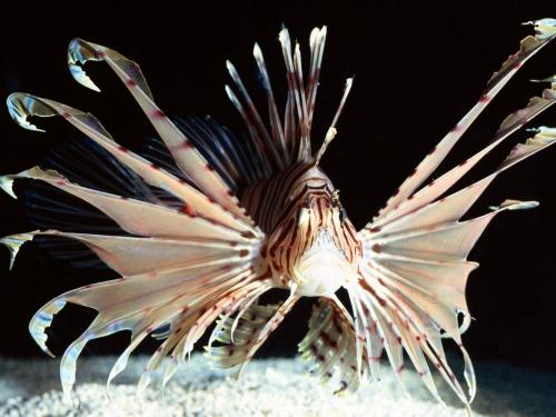 A lionfish with insane wing fins.