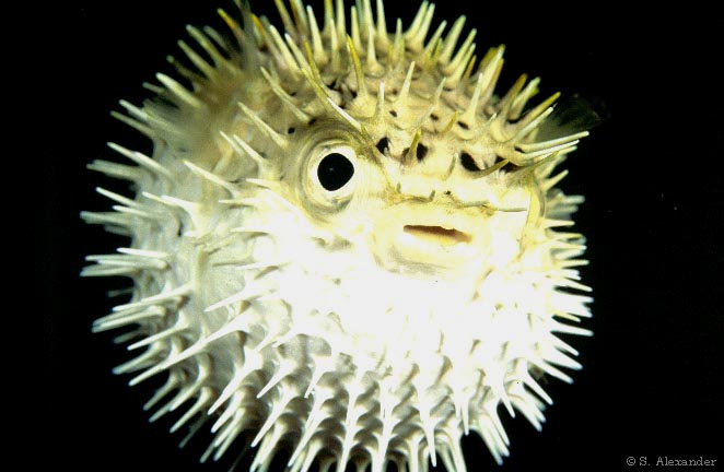 Puffer fish puffed out.