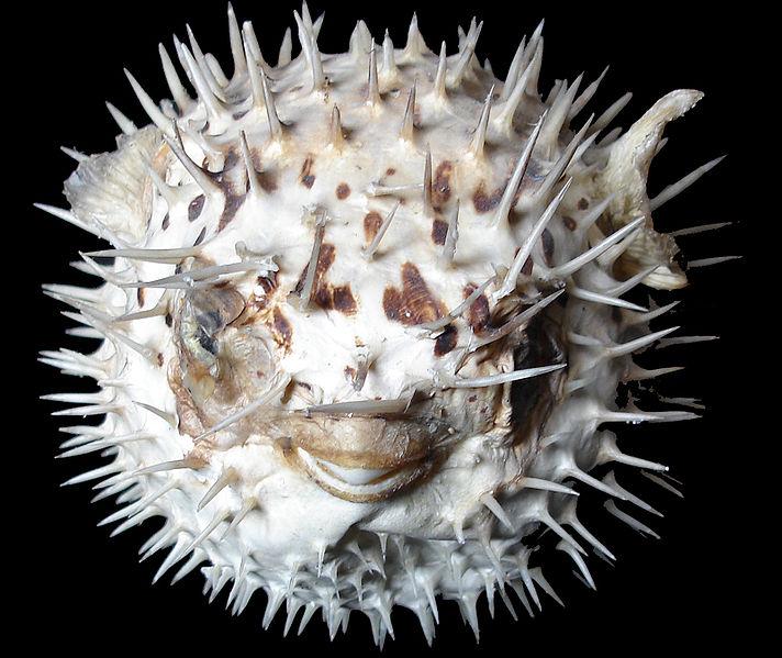 A Puffed Fish